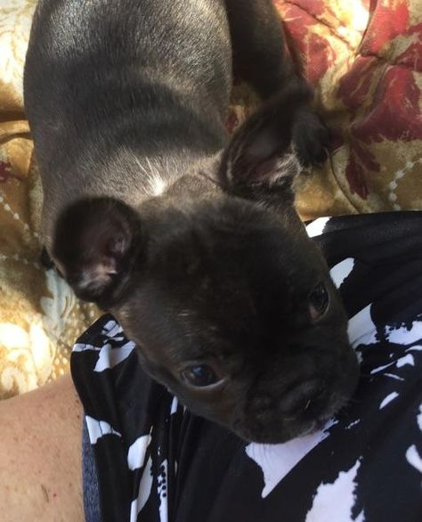 French Bulldog Puppy For Sale In Lubbock Tx Adn 39240 On