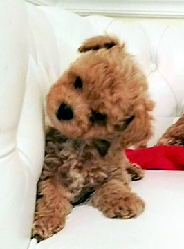 Puppies For Sale Bichpoo Bichonpoo Poochon Bichpoos