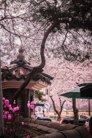 Gyeongju Cherry Blossom Festival South Korea Travel Korea Travel South Korea Photography