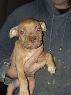 Litter Of 4 Staffordshire Bull Terrier Puppies For Sale In