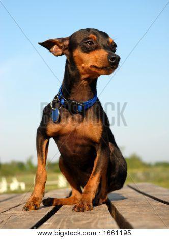 Miniature Pinscher Poster Miniature Pinscher Dog Breeds Mini