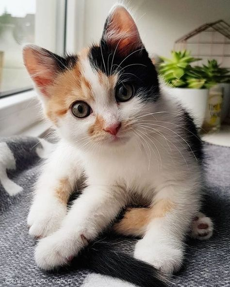 As I talked to fellow calico owners, I noticed every single one of their calico cats was also female. This was surprising to me – was there really no such thing as a male calico cat?