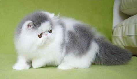 Terkeren 19 Gambar Kucing Persia Zanna Kirania Feb 18 2020 3 Min Read Gambar Jenis Kucing Persia Medium Daftar Har Kucing Persia Menggambar Kucing Kucing