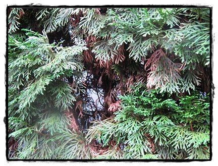 Arbor Vitae Diseases