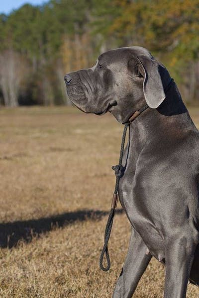 How To Obedience Train A Great Dane Great Dane Dogs Great Dane