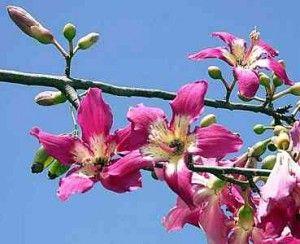 Silk Pink Flowers Silk Floss Trees Silk Floss Flowering Trees Beautiful Flowers