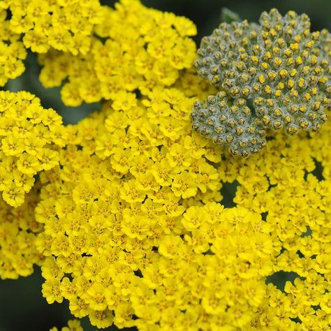 Yarrow Yellow Diy Wedding Flower Ideas In 2020 Wedding Flower Packages Wedding Bouquets Yarrow Flower