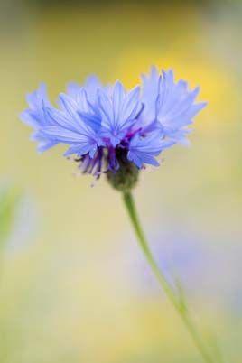 Bachelor S Buttons Cornflower Flores Floral