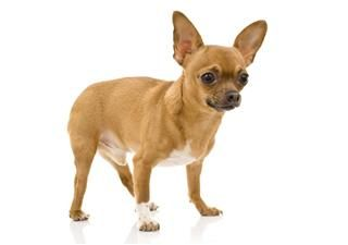 Chihuahua Chihuahua Fun Facts About Mexico