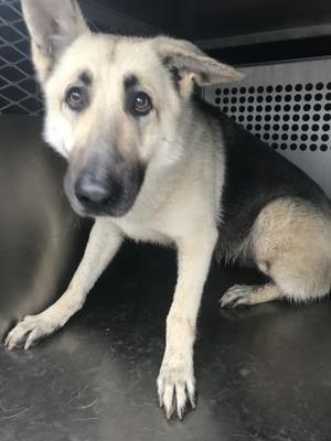 Fort Worth Tx German Shepherd Dog Meet 44055444 A Pet For