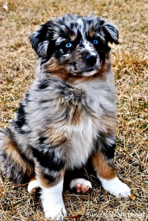 Boxer Energetic And Funny In 2020 Australian Shepherd Dogs Aussie Puppies Shepherd Puppies