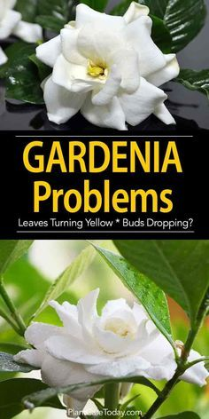 Gardenia Plant Problems Leaves Turning Yellow Buds Dropping Gardenia Plant Gardenia Trees Growing Gardenias