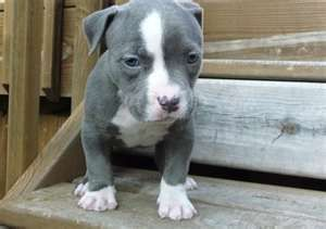 American Pitbull Terrier Puppy 3 Pitbull Terrier American Pitbull Terrier American Pitbull Terrier Puppy