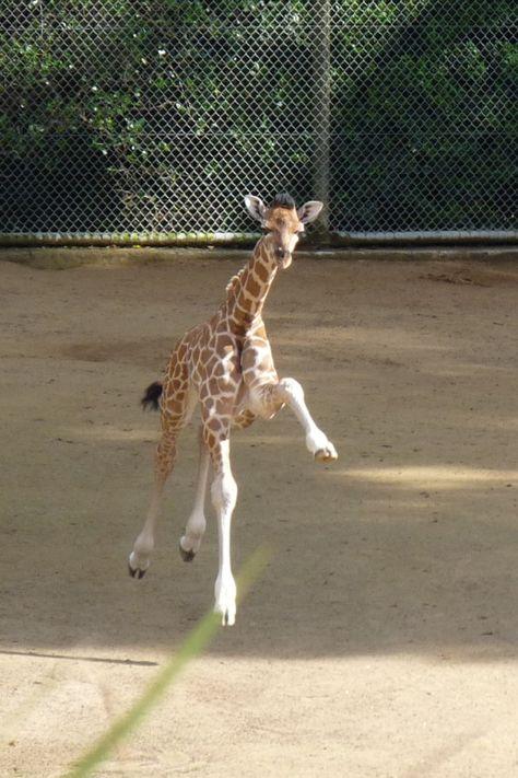 Flying baby giraffe, Nakuru at Auckland Zoo, New Zealand