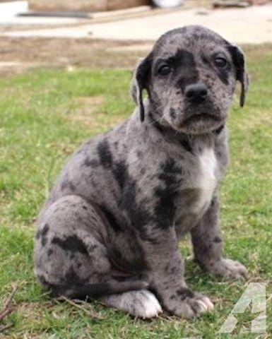 Merlin Akc Blue Merle Great Dane Puppy For Great Dane Puppy Blue Merle Great Dane Great Dane