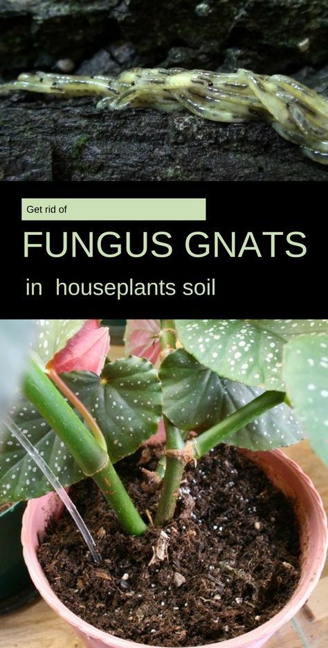 Get Rid Of Fungus Gnats In Houseplants Soil Getgardentips Com Gnats In House Plants Growing Plants Indoors Fungus Gnats Houseplant