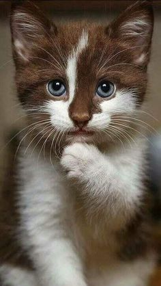 😸 Amour chaton marron et blanc chats mignons chats calin chats et chatons  #chatjadore #chats #chatons #happy  #funny #cat #cool #followme #beautiful