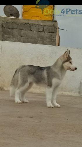 Pin By Only4pets On Only4pets Pets Online St Bernard Dogs Siberian Husky