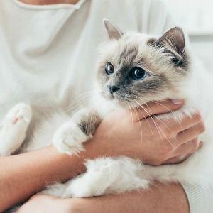 Man Hugging Cat Birman Kittens For Sale Birman Kittens Birman Cat