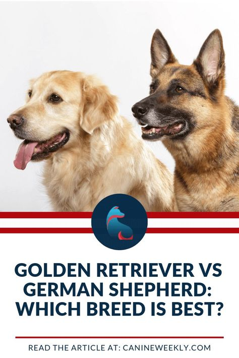 Golden Retriever Vs German Shepherd Which Breed Is Best Large