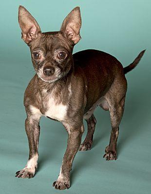 Chicago Il Chihuahua Meet Edgar A Dog For Adoption Pets