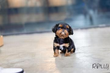 Available Puppies Cuteteacuppuppies Available Puppies Rolly Teacup Puppies Welpen Susse Hunderassen Niedliche Hunde