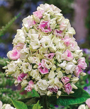 Another Great Find On Zulily Creme De La Creme Double Phlox Bare Root Set Of Two Zulilyfinds Phlox Flowers Bulb Flowers Flowers