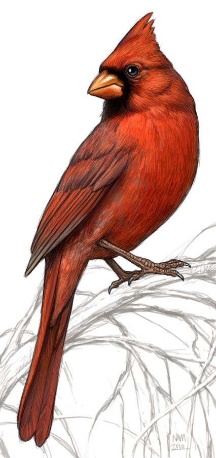 """Cardinal illustration ~ ~ For Embroidery ideas or Colored Pencil Art ~~ for the """"Old Fashion Vintage Farmer's Wife"""" ~~ Birds Painting, Art Painting, Birds Tattoo, Animal Art, Drawings, Bird Drawings, Color Pencil Art, Watercolor Bird, Bird Illustration"""