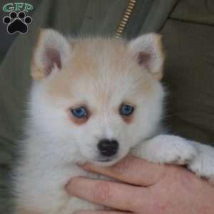 Mochi Pomsky Puppy For Sale In Ohio In 2020 Pomsky Puppies Pomsky Puppies For Sale Cute Funny Animals