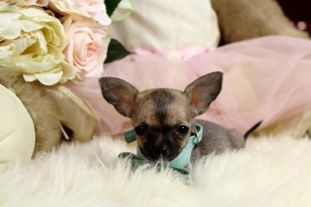 Pin By Joan Galloway On Cute Dogs In 2020 With Images Chihuahua Puppies Puppies Teacup Chihuahua Puppies