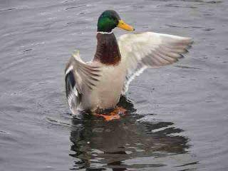 تفسير حلم رؤية البط في المنام تفسير الأحلام Animals Duck