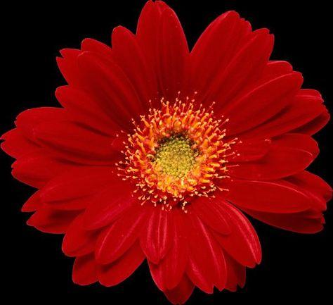 Gerbery Kwiaty Izyda55 Chomikuj Pl Strona 9 Flower Background Iphone Cartoon Flowers Folk Art Flowers