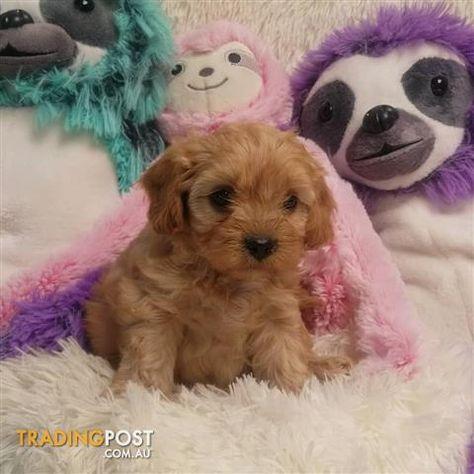 Cavoodle Puppies Cavoodle Dog Cute Animals Schnoodle