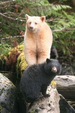 Kermode Bear with a black cub. Since the white variant is a recessive color trait, it is common for moms and cubs to be different colors or for one set of cubs to have different colors. -  - #Genel