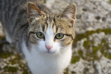American Wirehair Cats And Kittens