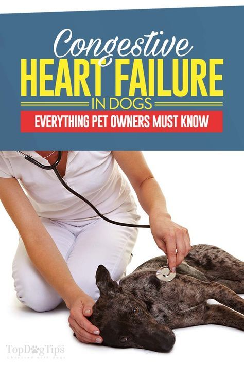 Congestive Heart Failure In Dogs 10 Things You Must Do Heart
