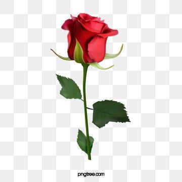 Millions Of Png Images Backgrounds And Vectors For Free Download Pngtree Rose Illustration Rose Flower Wallpaper Rose Clipart