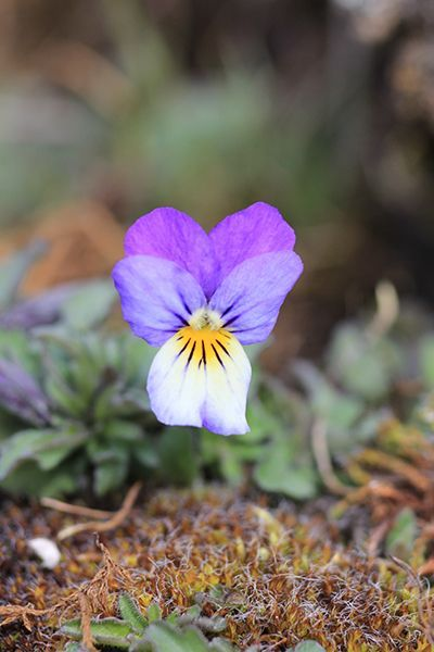 Wild Pansy Flower Essence Heart S Ease Flower Essences Pansies Flowers Pansies