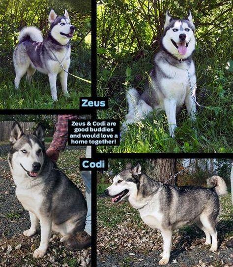 Adopt Codi And Zeus On Siberian Husky Dog Husky Rescue Husky