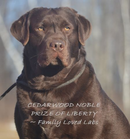 English Chocolate Labrador Akc Registered Quality Labrador Puppies Dark Chocolate English Lab Hunting Labrador Retriever Labrador Dog English Labrador