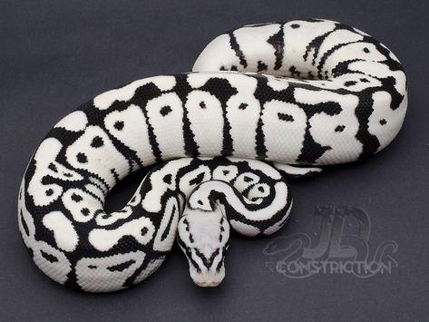 panda pied ball python - Google Search