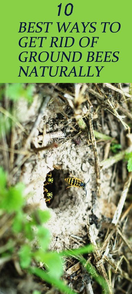 Ground Nesting Bees: 10 Best Ways to Get Rid of Ground Bees