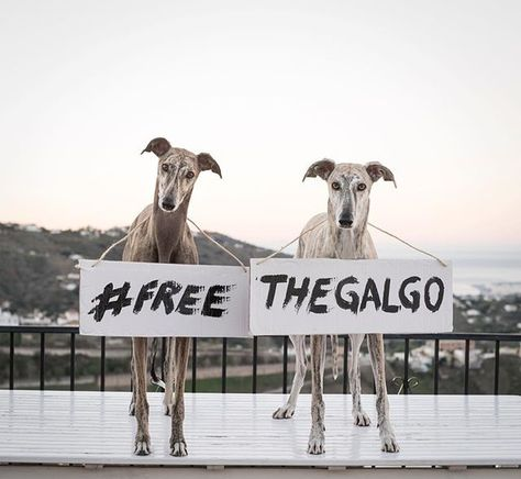 Today Is Internationally Recognised As Free The Galgo Day The Last Day Of The Hunting Season For Galgos Many Greyhound Pictures Dog Day Afternoon I Love Dogs