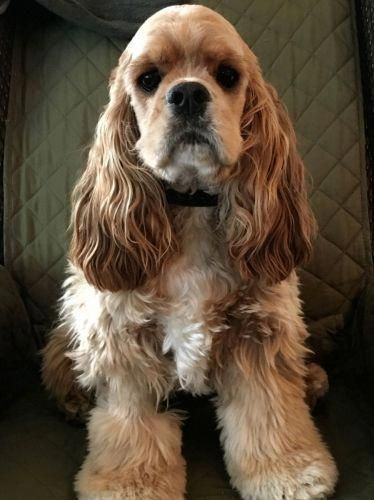 See Our Website For Even More Relevant Information On Spaniels It Is Actually An Exceptional Cocker Spaniel Dog Cocker Spaniel English Toy Spaniel