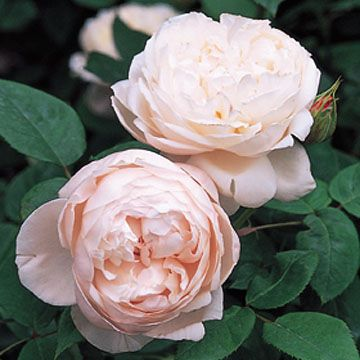 The folks at David Austin Roses prefer to call their roses, 'English Roses,'because they believe England, more than any other country, is associated with the rose itself.