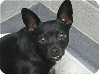 Corpus Christi Tx Chihuahua Mix Meet Wesley A Dog For Adoption