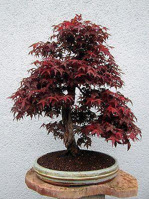 Bonsai Outdoor Roter Facherahorn Acer Palmatum Deshojo 1705