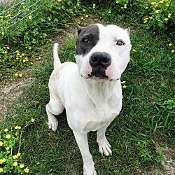 Available Pets At Bayou Animal Services In Dickinson Texas Pitbull Terrier Pet Adoption Pitbulls