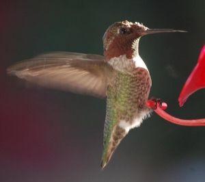 Avian Pox Suspected In Hummingbirds In La Mesa Mt Helix Area East County Magazine Avian Humming Bird Feeders Hummingbird
