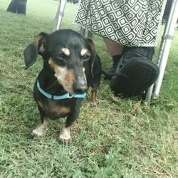 Available Pets At Austin Animal Center In Austin Texas Dachshund Adoption Animals Pet Adoption